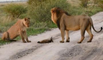 2 льва и лисенок