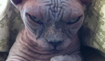 лысый кот