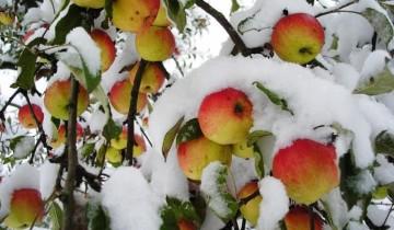 яблоки под снегом